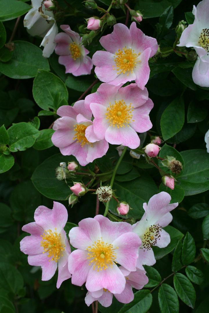 Walsh rose. Photo by Gretchen Ward Warren