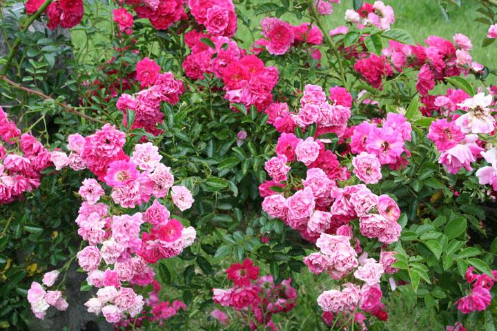 Excelsa and Summer Joy in WHHM garden. Photo by Gretchen Ward Warren