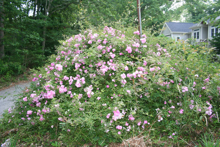 Walsh rose at intersection of Strawberry Hill and Harbor Hill Rd. Photo by Gretchen Ward Warren