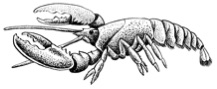 Drawing of a lobster