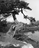 Naushon cedar tree